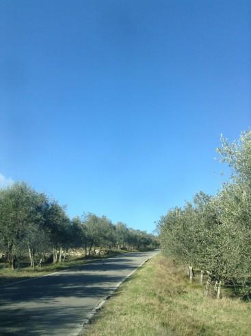 Distese di olivi fiancheggiano l'agevole carrozzabile