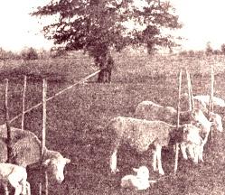 pastorizia in maremma1