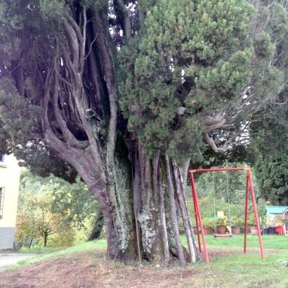 San Romolo, Campestri Vicchio, la base del vecchio cipresso