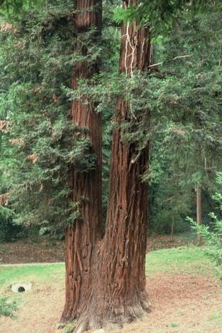 Sammezzano, Leccio di Reggello, sequoia gemella