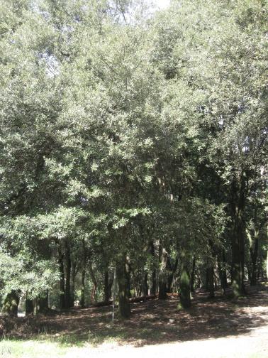 Abbazia di San Giusto nel verde dei lecci