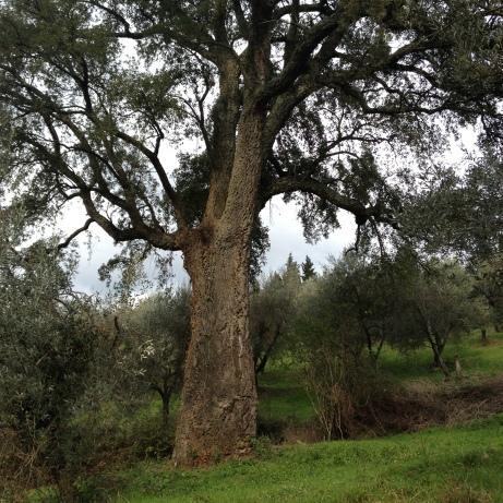 Londa la quercia da sugheri pluricenenaria