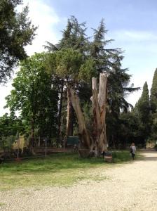 Villa Fabbricotti, nel parco accanto alla villa ciò che rimane del grande Cedro del Libano