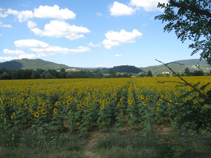 Una distesa di girasoli lungo la strada che da Siena porta a Grosseto