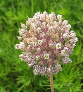 Fiore di allium ampeloprasum